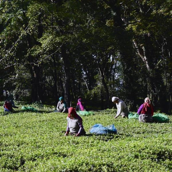 Tea gardens near Bir