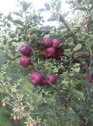 Pick fresh Apples